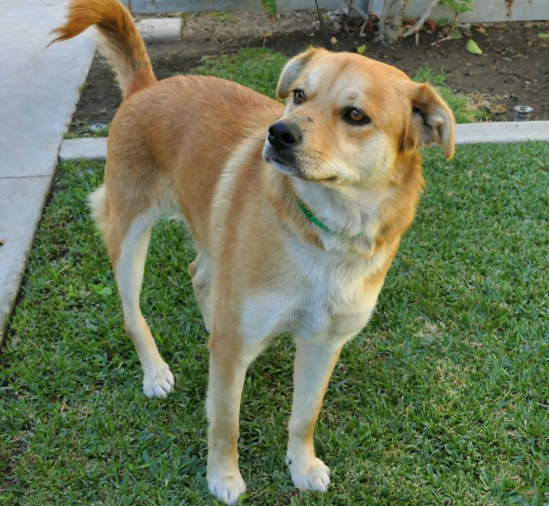 Jack, a 2 year-old Carolina Dog mix is available for adoption at the Harbor Animal Shelter in San Pedro. A Carolina dog is an ancient breed of wild dog primarily in Southeastern US. Known to be loyal, reserved and adaptable.ID# K17-053398 (Photo by RobertCasillas,Daily Breeze/SCNG)