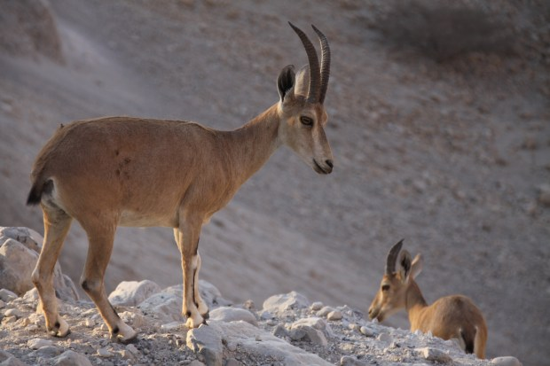 The Los Angeles Zoo euthanized all seven of its Nubian ibex goats because they had an infectious and incurable strain of herpes. Above, two Nubian ibexes are seen on a nature reserve in Israel (Photo by Wikimedia Commons user Yuvalr reproduced under the CC BY-SA 3.0 license)