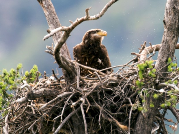 A juvenile Bald Eagle in its nest along Highway 39 near the San Gabriel Dam on Tuesday April 19, 2016. (Photo by Keith Durflinger/San Gabriel Valley Tribune)