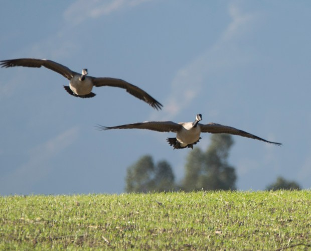 These Canada geese stopped by a field in Jurupa Valley for a snack on Dec. 11, 2017. The San Gabriel Mountains can be seen in the background. (Photo courtesy of Jim Everett)