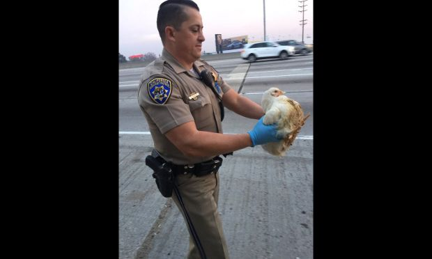 A CHP officer removes a chicken from the roadway early Tuesday, Jan. 2, 2017, after at least 100 of the birds were running around on the southbound 605 Freeway near the transition to the 105 in the Norwalk-Downey area. (Photo courtesy of the California Highway Patrol)