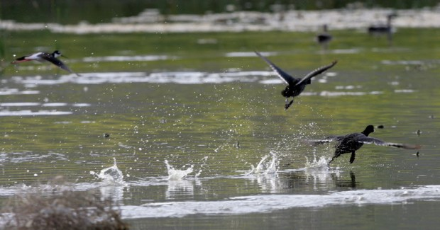 Ducks and geese take to the air from one of remaining ponds after several ponds were drained for maintenance at the San Jacinto Wildlife Area in Lakeview, on Tuesday, Mar.29, 2016. FRANK BELLINO,