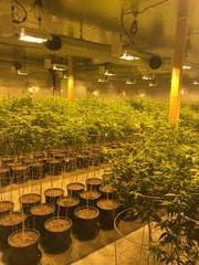 Sheriff's deputies served a search warrant and seized more than 2,000 marijuana plants on Monday, Jan. 8, from a building on Industrial Boulevard in Victorville. (Photo courtesy of San Bernardino County Sheriff's Department)