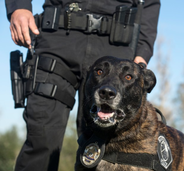 Santa Ana Police Department K9 Puskas.His specialty is apprehension and evidence including helping apprehend dangerous felons off the street. (File photo by ED CRISOSTOMO, ORANGE COUNTY REGISTER/SCNG)