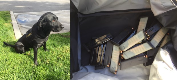 Penny, a Los Angeles County Probation Department detection dog, along with her human colleagues, sniffed out an AK-47 assault rifle, three handguns, numerous high-capacity magazines and a stockpile of ammunition from the home of a probationer on Wednesday, Feb. 21, 2018. (Courtesy, Los Angeles County Probation Department)