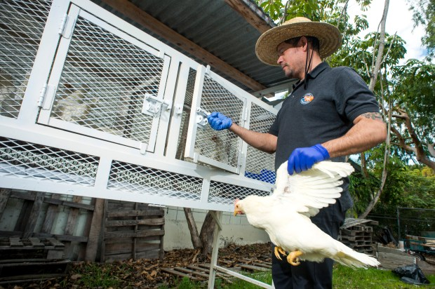 Vector ecologist Harold Morales places a white leghorn laying chicken in a coop at El Dorado East Regional Park in Long Beach. The Greater Los Angeles County Vector Control District places sentinel chickens throughout the county to detect the presence of mosquito-borne diseases, such as West Nile Virus. (Correspondent photo by Leo Jarzomb)
