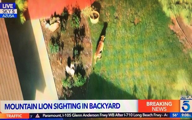 A mountain lion moves through the backyard of an Azusa neighborhood on Monday, March 26, 2018. (Photo KTLA)