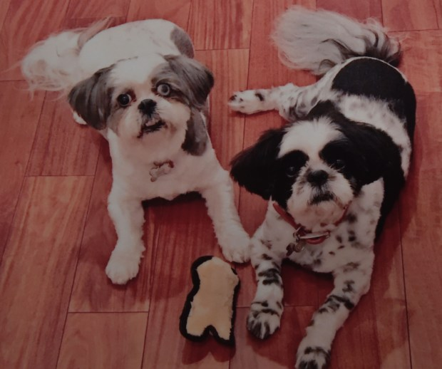 Greg Simon and Saira Qazi, East Long Beach residents who fell victim to a home burglary Monday night are asking for the publics help in the safe return of their two dogs Winston and Wesley. The dogs are rescued Shih Tzu breed that the couple has had since the dogs were very young. Long Beach March 27, 2018. Photo courtesy of the family