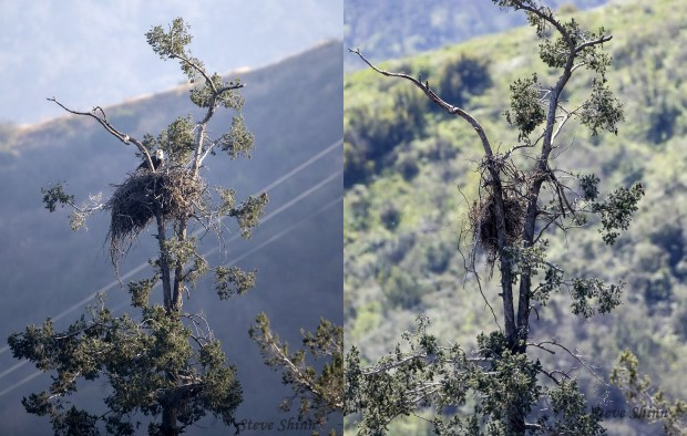 Left: One of the adult bald eagles on the nest before it collapsed in the Angeles National Forest. Right: Nest collapsed in this photo shot on Friday, March 30, 2018. A branch is also missing from the tree. (Photos by Steve Shinn).