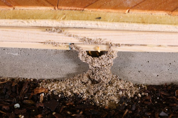 Termites creating mud tubes, which they use to provide moisture on their travels between the colony and food source. (Courtesy of the National Pest Management Association)