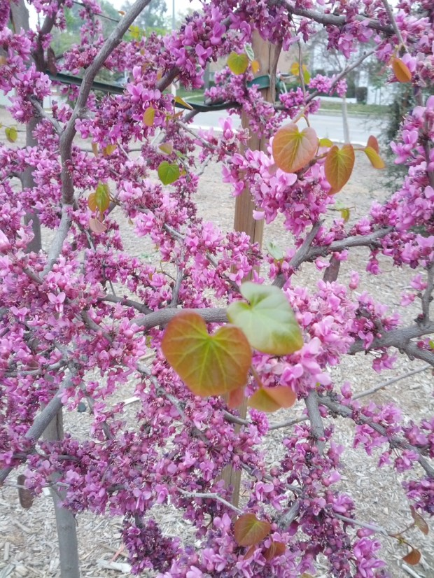 Western redbud (Cercis occidentalis) at Van Nuys-Sherman Oaks Park (Photo by Joshua Siskin)
