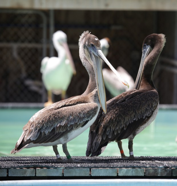 Concern for Brown Pelicans that live along the coast of Southern California has been mounting as the number of sick and dying birds reported suddenly increased over the past week. The International Bird Rescue Center in San Pedro has seen a large uptick in the number of sick and dying birds being brought in. Photo By Charles Bennett