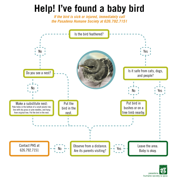 What to do if you find a baby bird that needs help. (Courtesy the Pasadena Humane Society)