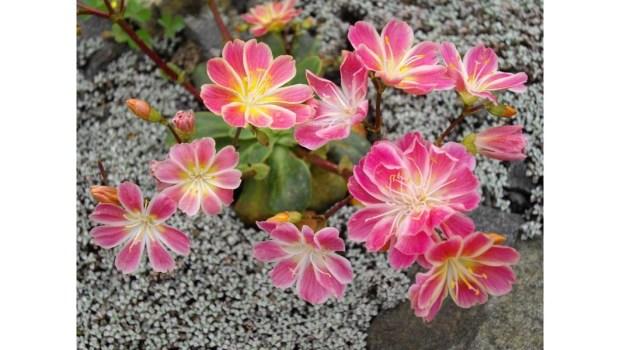 Lewisia_cotyledon, a California native plant_(1-16x9