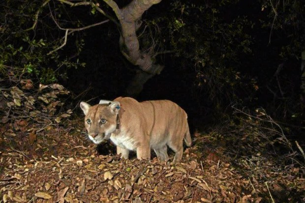 "The Hollywood cat, officially named P-22, seen in this photo from 2014. He lives in Griffith Park. His story is featured in Beth Pratt-Bergstrom's new book: ""When Mountain Lions Are Neighbors: People and Wildlife Working It Out in California."""