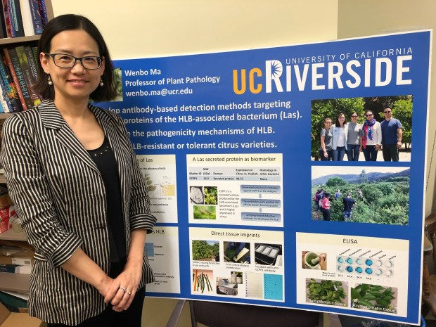 UC Riverside plant pathology professor Wenbo Ma, one of the lead authors on a potentially pivotal study examining how bacteria infect trees with citrus greening disease, stands in her campus office on Tuesday, May 1. (Photo by David Downey. Staff)