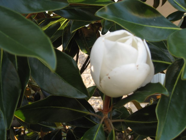 Master Gardener How To Grow A Magnolia Tree Can You Eat Natal