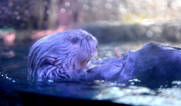 Brooke is a 20-year-old charter sea otter at the Aquarium of the Pacific in Long Beach on Thursday, May 24, 2018. The media was given a tour of what visitor can expect to see this summer, ranging from original animals to new exhibits as the Aquarium celebrates its 20 year anniversary. (Photo by Brittany Murray, Press Telegram/SCNG)