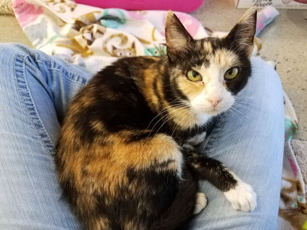 Calico cat Gina, 4, has feline immunodeficiency virus. That doesn't mean she can't live a long, healthy, happy life. She can, provided her owners take certain precautions. (Photo by Emily Moncur)