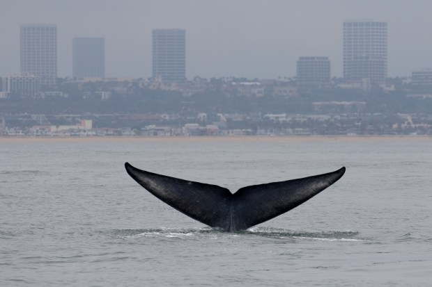 A blue whale shows its tail with Fashion Island in the background. Photo: Kristin Campbell/Newport Landing Whale Watching