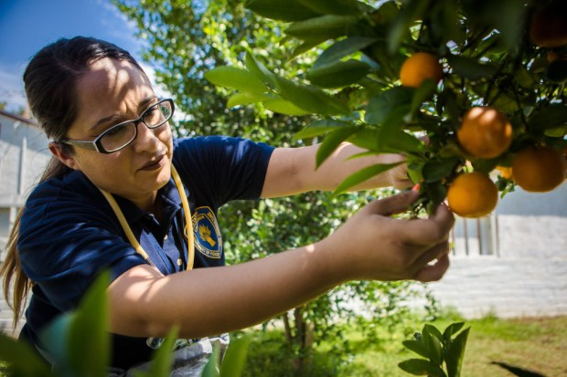 California Department of Food and Agriculture technician Maritza Paredes collects Asian citrus psyllid nymphs from a tangerine tree in the backyard of a Riverside home in August 2017, following the discovery of the deadly citrus greening disease in the city. (File photo by Watchara Phomicinda, The Press-Enterprise/SCNG)