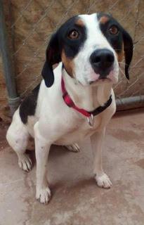 Flossie is a 2-year-old Coonhound available for adoption from Beagles and Buddies Animal Sanctuary. (Courtesy photo)