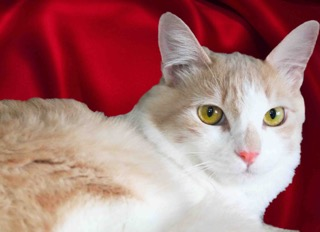 Cheetos is a male cat, less than 1 year old, available for adoption through Lifeline for Pets. (Courtesy photo)