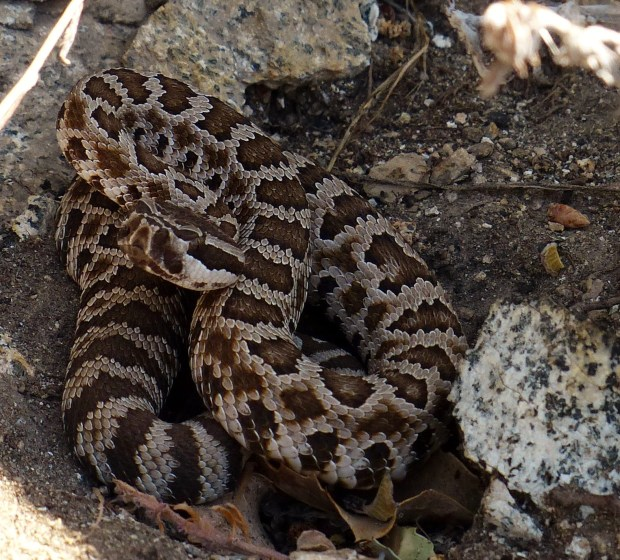 In defense of snakes and lizards in Southern California