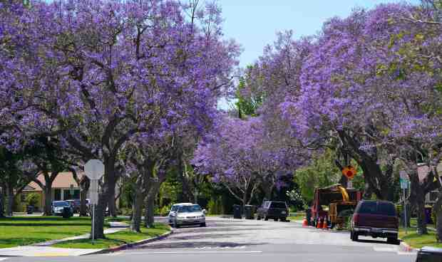 Jacaranda Trees Invasion Of The Purple Flowers Bring Peace Beauty And Some Mess To Socal Pasadena Star News