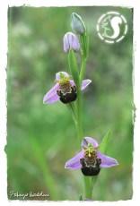Album Orchidee selvatiche