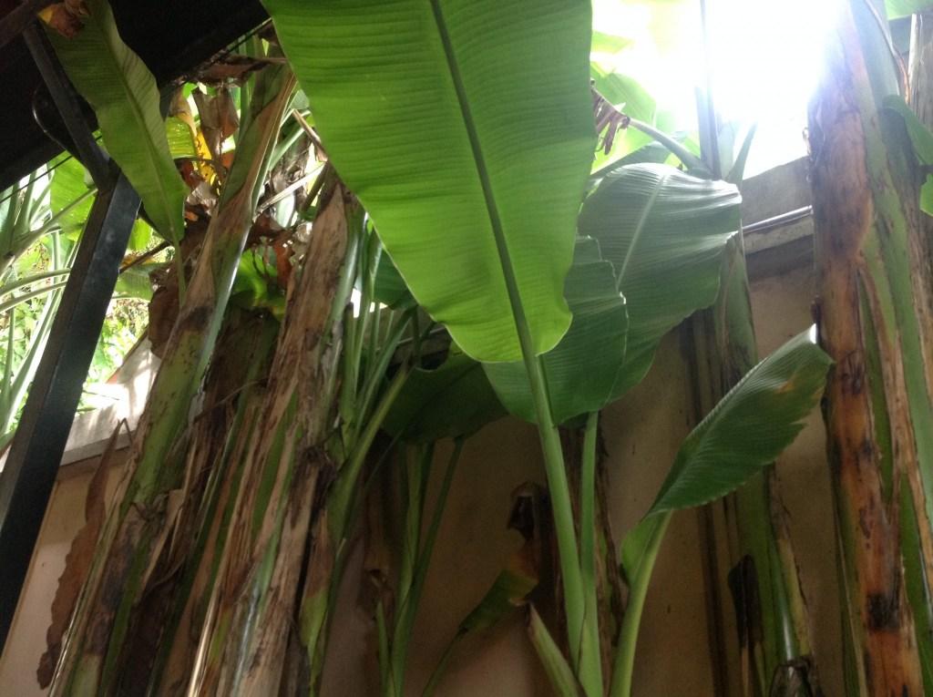 banana-trees-at-bun-bo-ganh-restaurant
