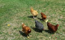 They had chickens!