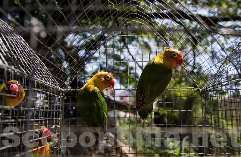 Love Bird, keluarga kakak tua yang berbadan kecil