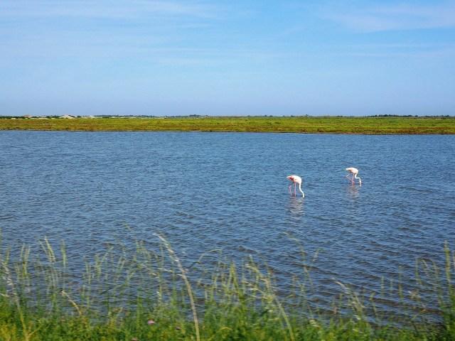 Camargue: fenicotteri rosa