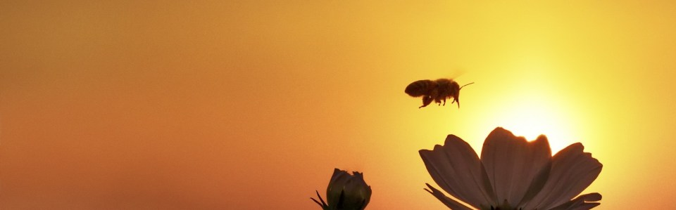 bee at sunset cropped for slider