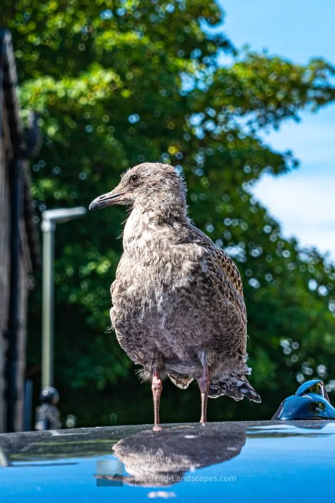 Young Sea Gull Waiting for a Ride, Lerwick, Shetland
