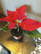 We picked up this mini poinsettia to take around with us on our road trip to remind us that it was Christmas!