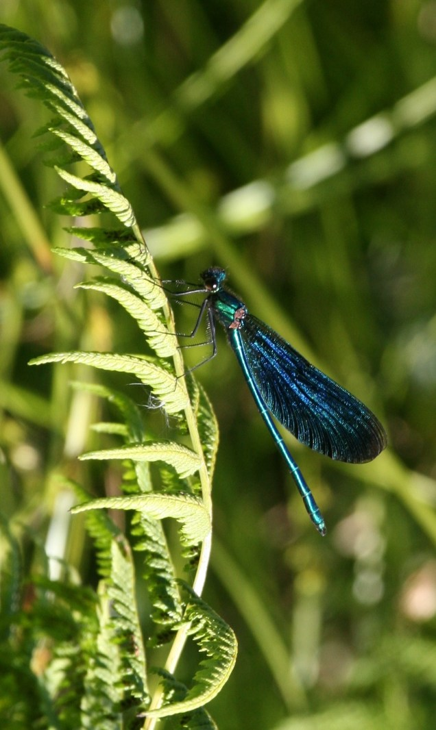 Beautiful Demoiselle - male shown here
