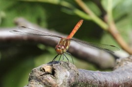 A common darter - male