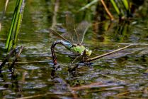 Emperor dragonfly - female laying eggs