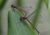 Large red damselfly - the male is holding onto the female to make sure she lays the eggs fertilized by him.