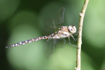 Migrant Hawker - a common visitor to UK in late summer