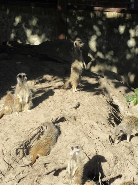 Meerkat mania