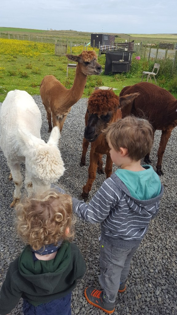 Meet Alpacas at Skate Rumple Farm Orkney