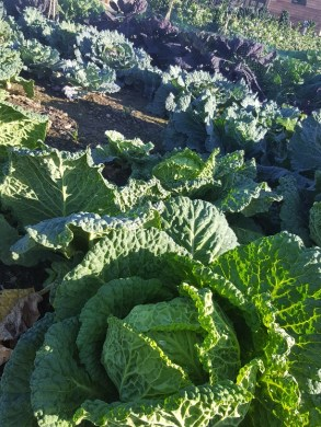 Fresh produce in the Walled Garden