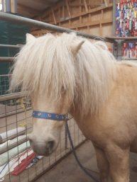 The Shetland Pony Experience