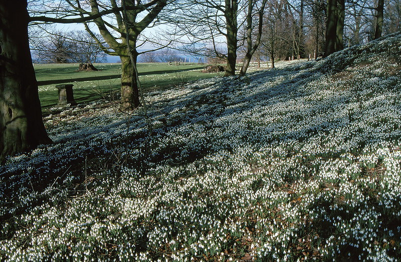 Where to See Snowdrops in Scotland