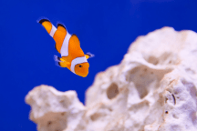 A+clown+fish+is+unable+to+blend+into+its+correct+atmosphere+because+the+coral+is+bleached.+