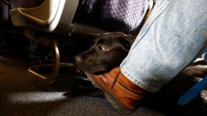 Service dog - credit Julio Cortez AP Newark Liberty International Airport