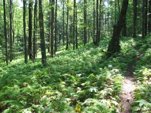 Ferns carpeting the forest floor